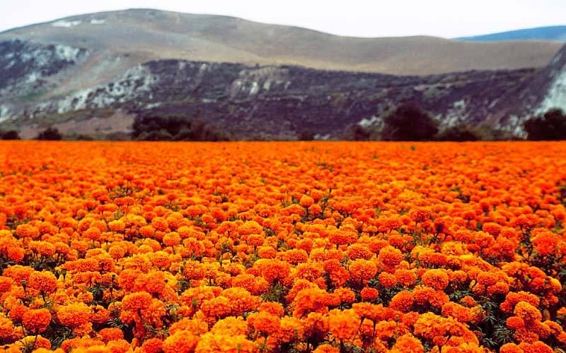 Santa Barbara marigolds mountains
