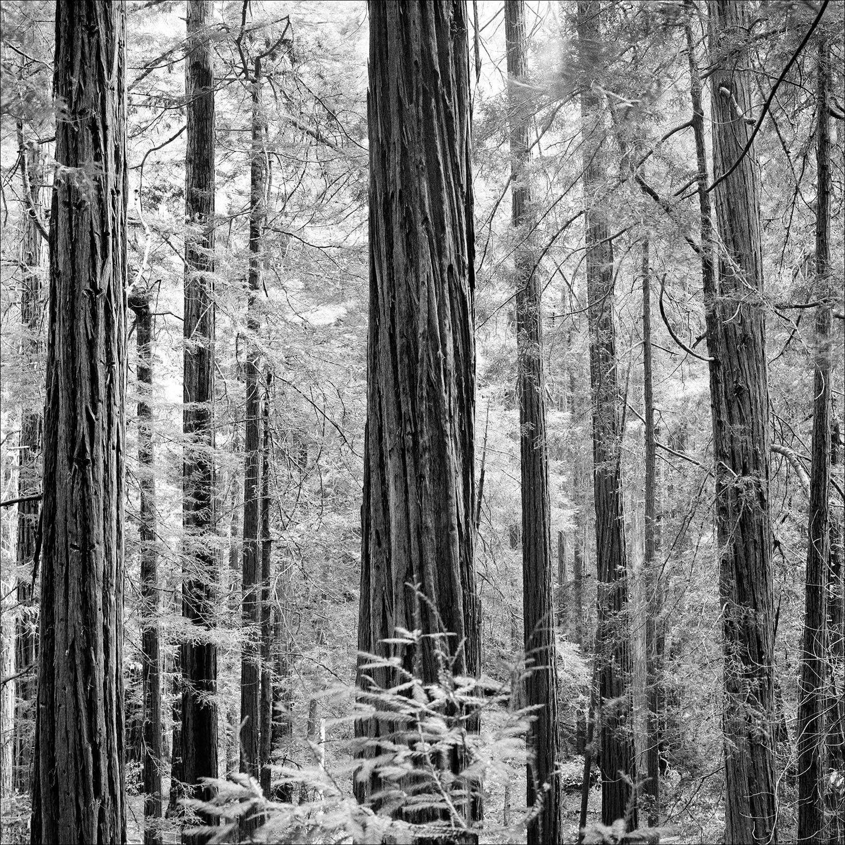 MuirWoods_Northern_California_Redwoods_Photographer.jpg