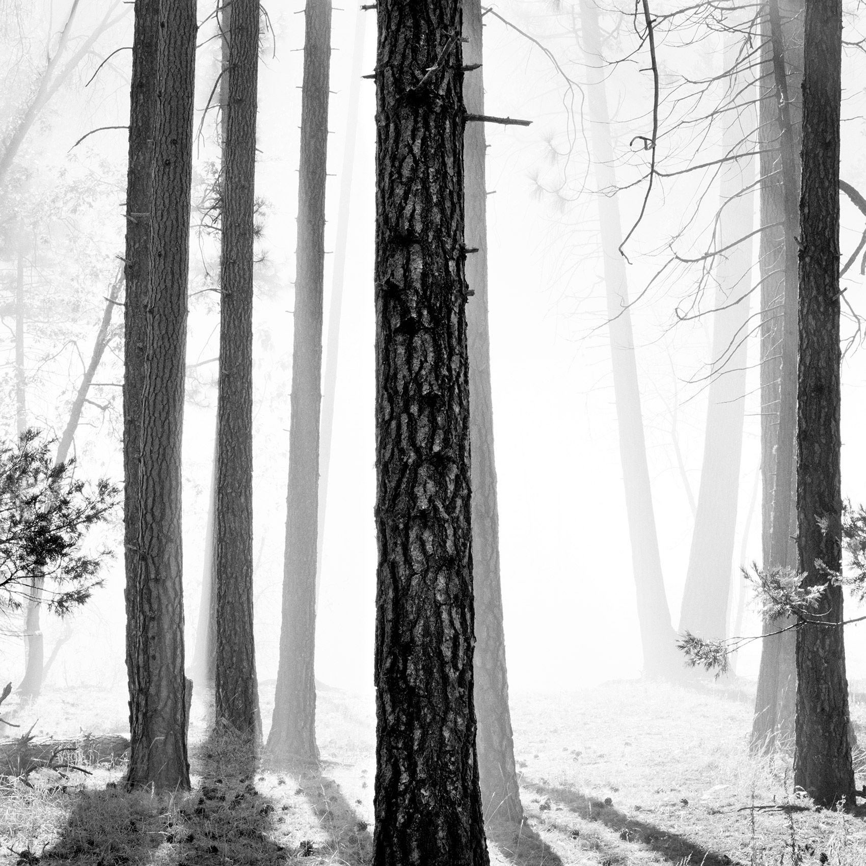 TreesinMorningFog_Yosemite.jpg