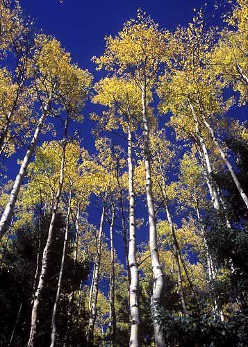 Aspens of Taos, New Mexico