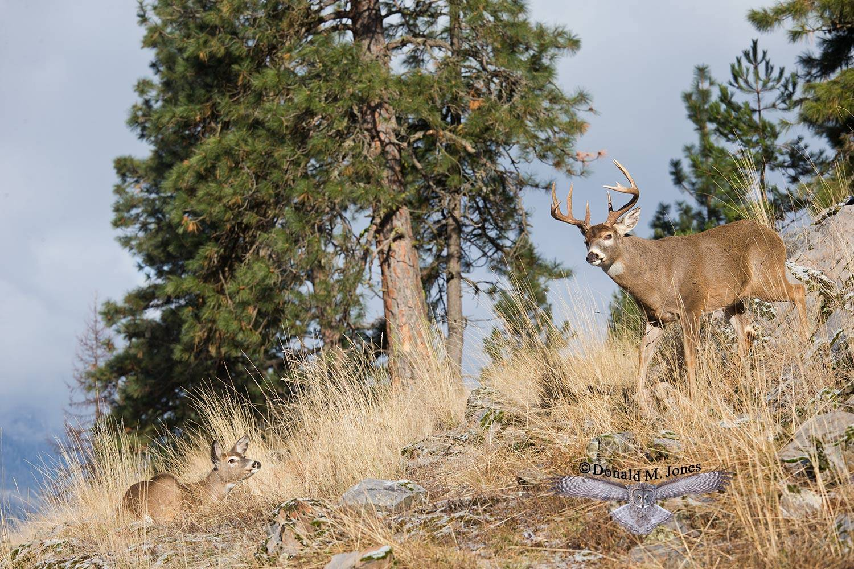 Whitetail-Deer50051D