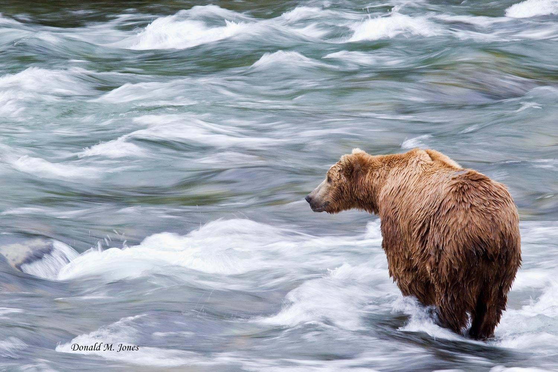Brown-Bear01439D