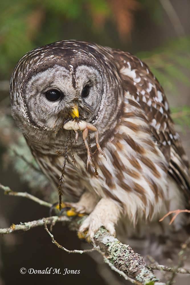Barred-Owl0117D