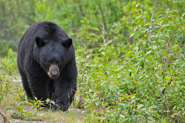 Black-Bear07345D