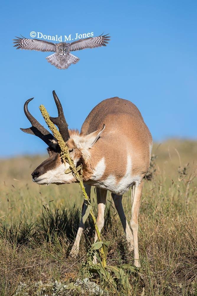 Pronghorn-Antelope04882D