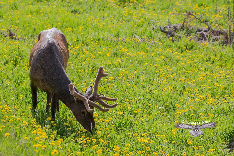 Elk-(Rocky-Mtn)23973D