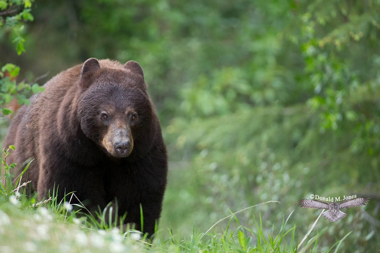 Black-Bear07197D