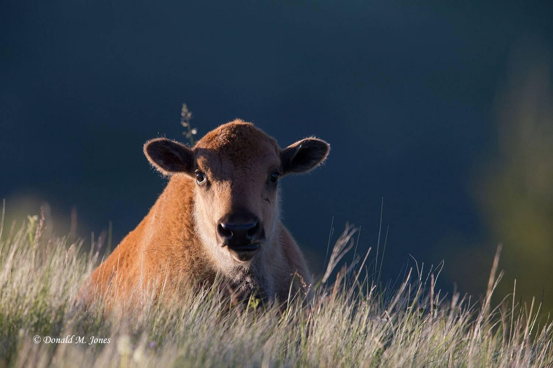 American-Bison01716D