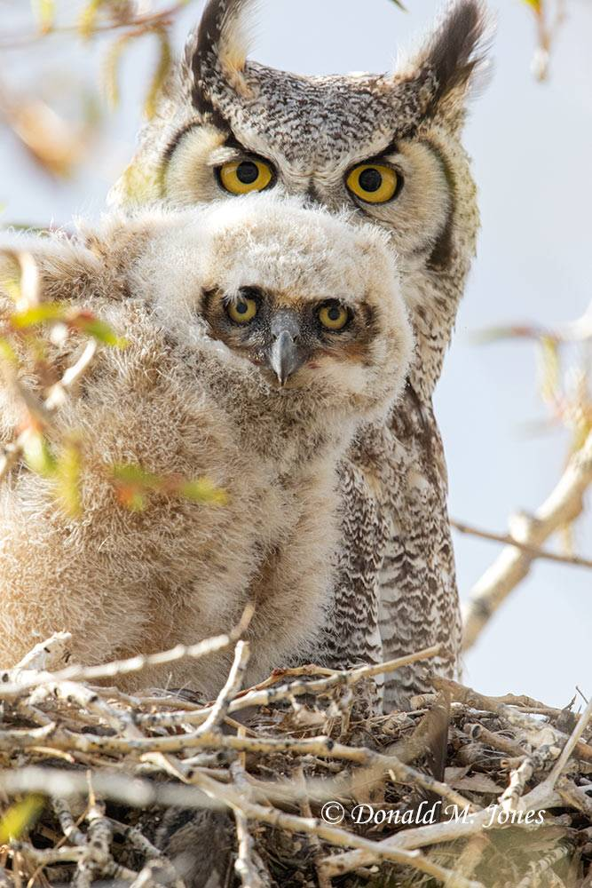 May 13, Great Horned Owl Mom and babe
