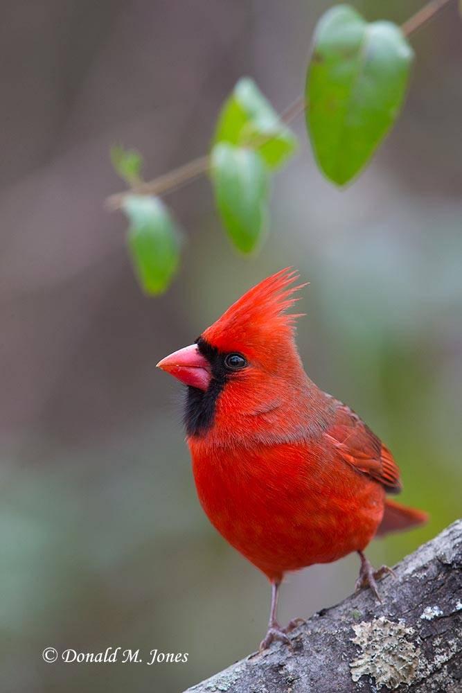 Northern-Cardinal0114D