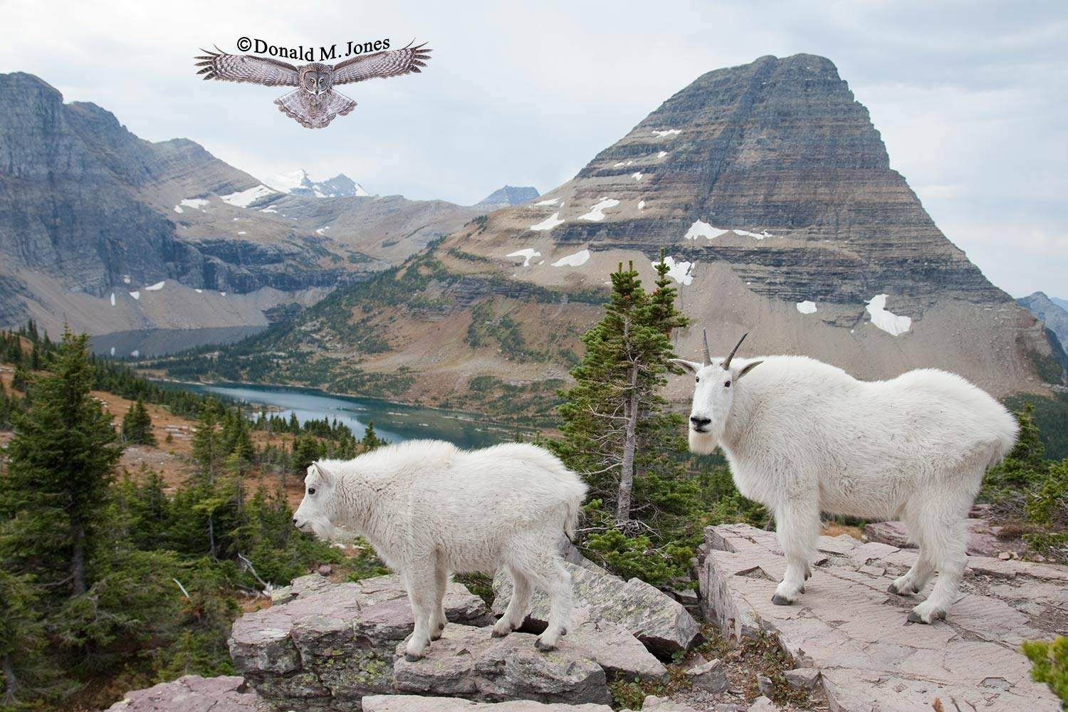Mountain-Goat02108D