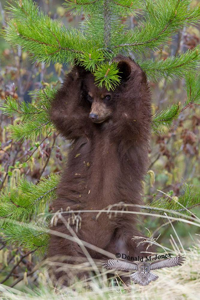 Black-Bear05890D