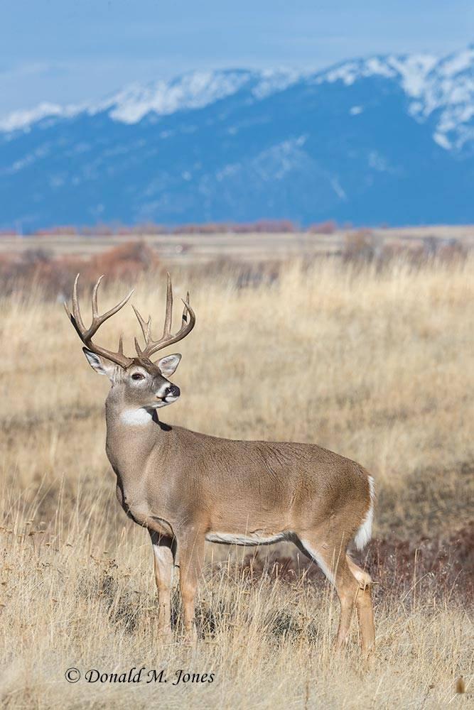 Whitetail-Deer56407D