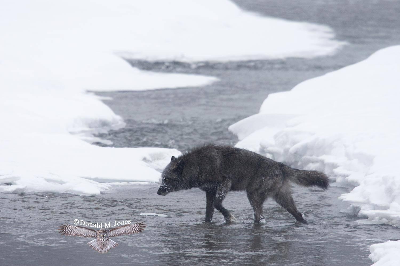 Wolf0507D