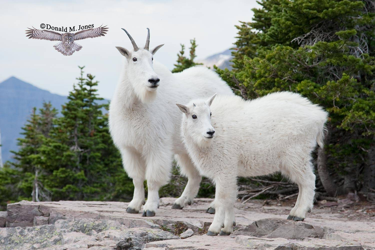 Mountain-Goat02107D