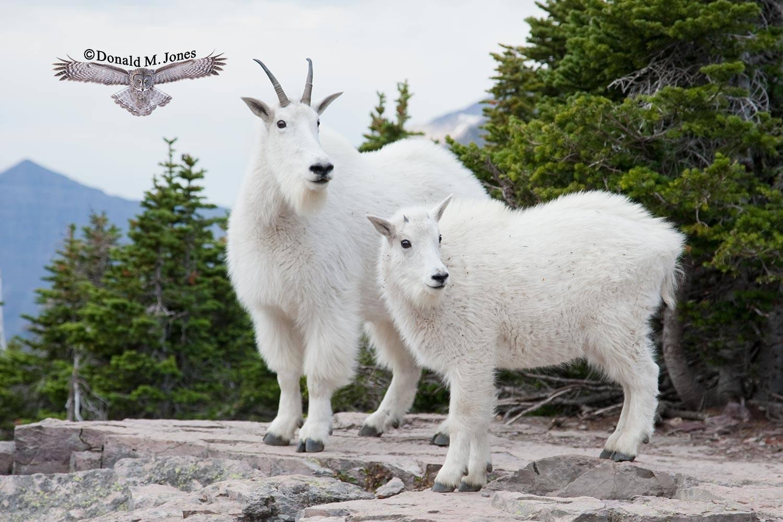 Mountain-Goat02107D