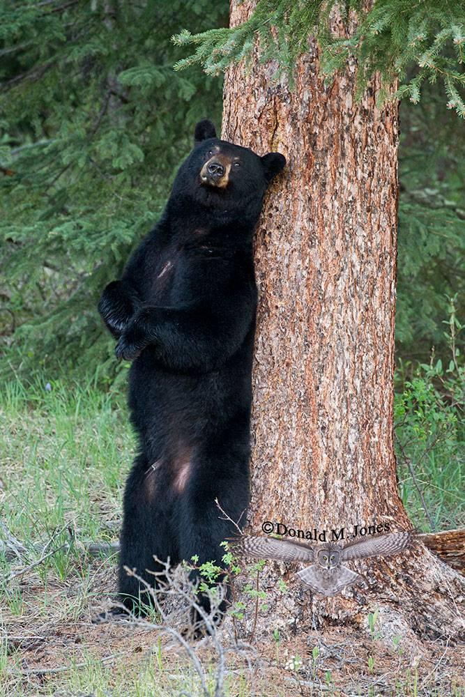 Black-Bear07020D