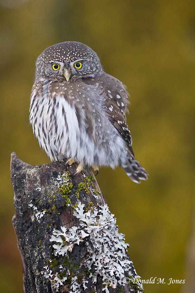 Northern-Pygmy-Owl0750D