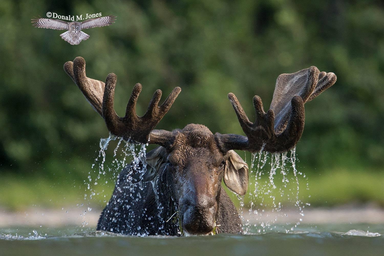 Moose5794D