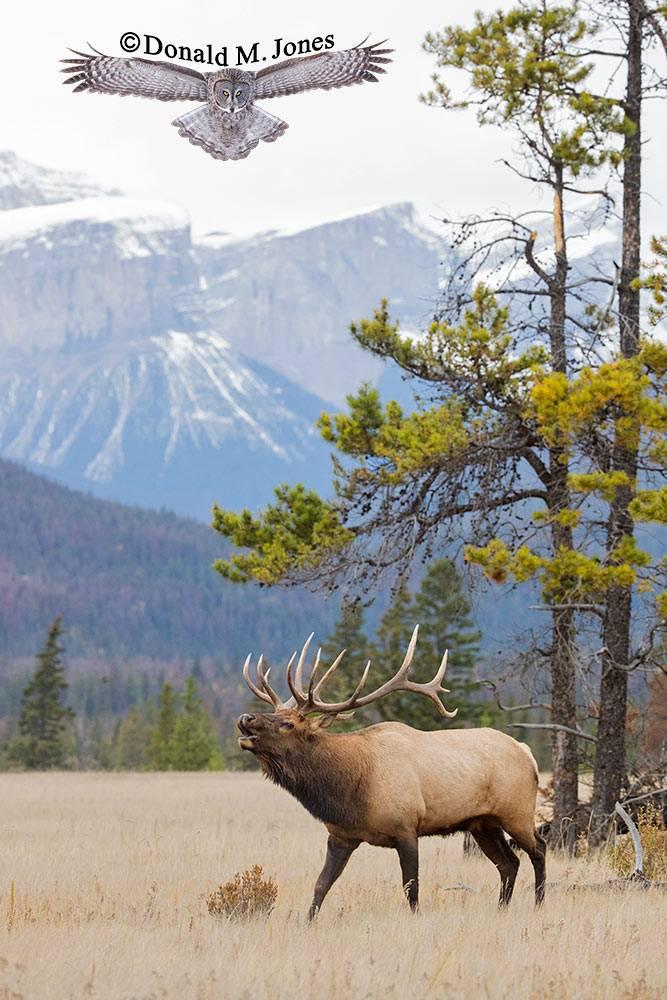 Elk-(Rocky-Mtn)25846D