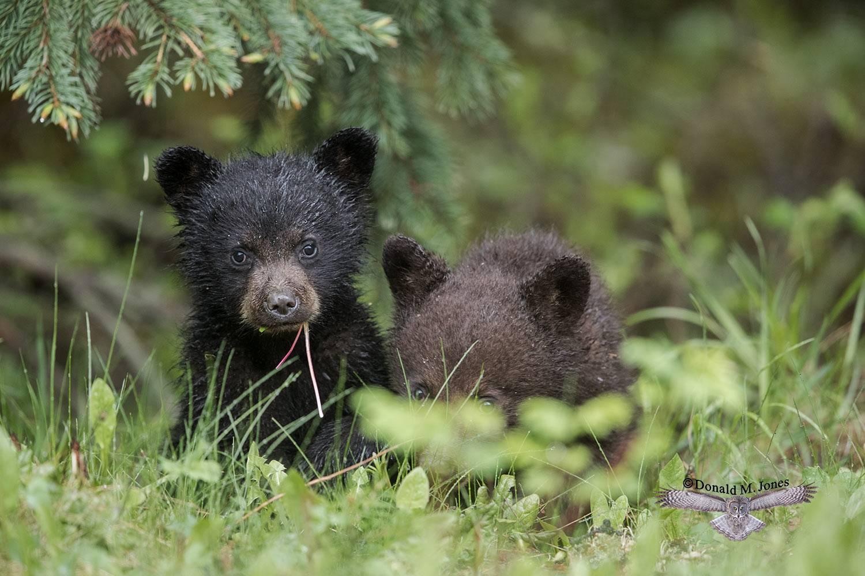 Black-Bear07578D