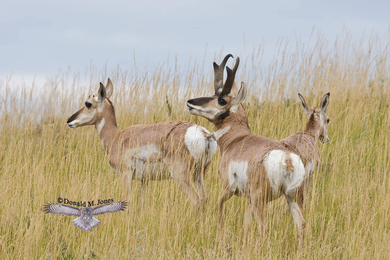 Pronghorn-Antelope03104D