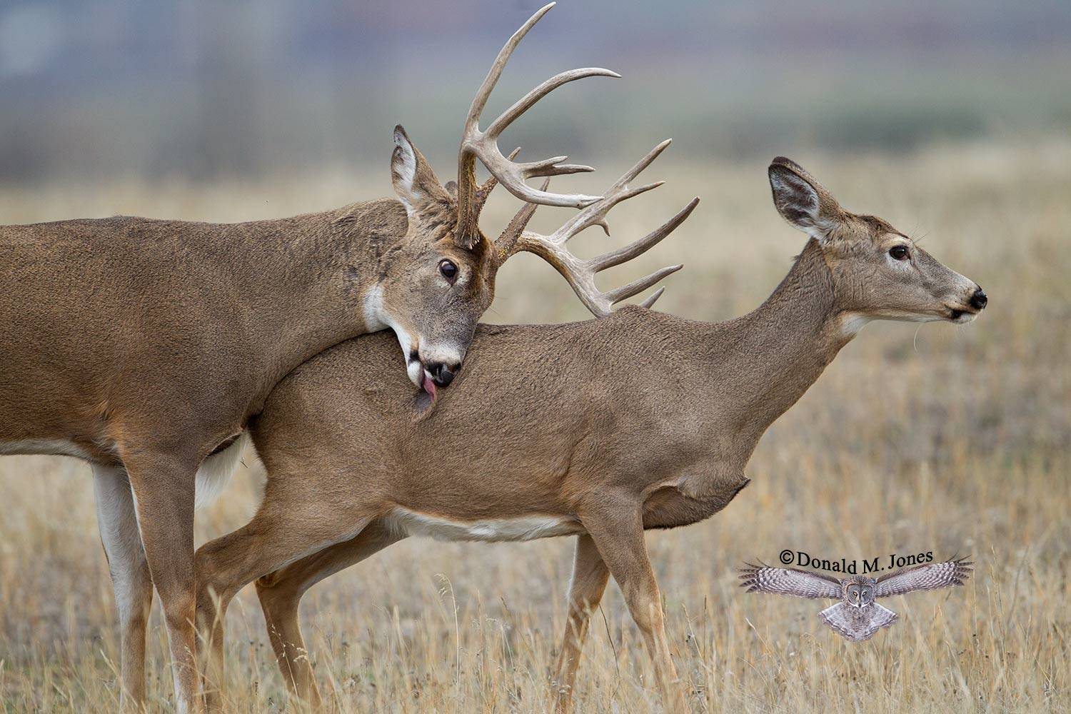 Whitetail-Deer50507D