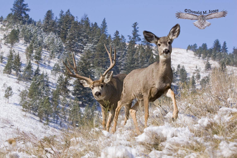 Mule-Deer06490D