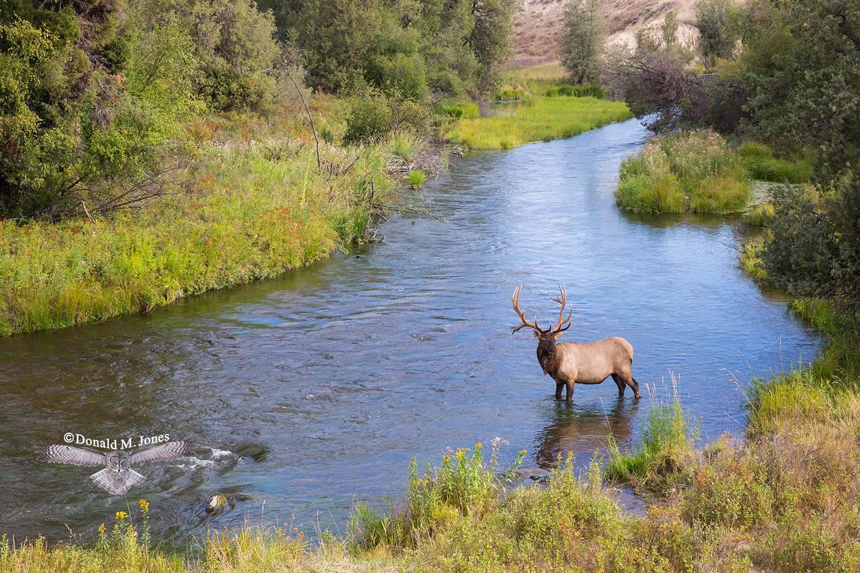 Elk-(Rocky-Mtn)23154D