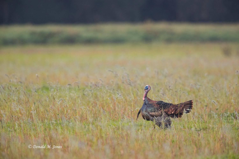 Wild-Turkey-(Osceola)0107D