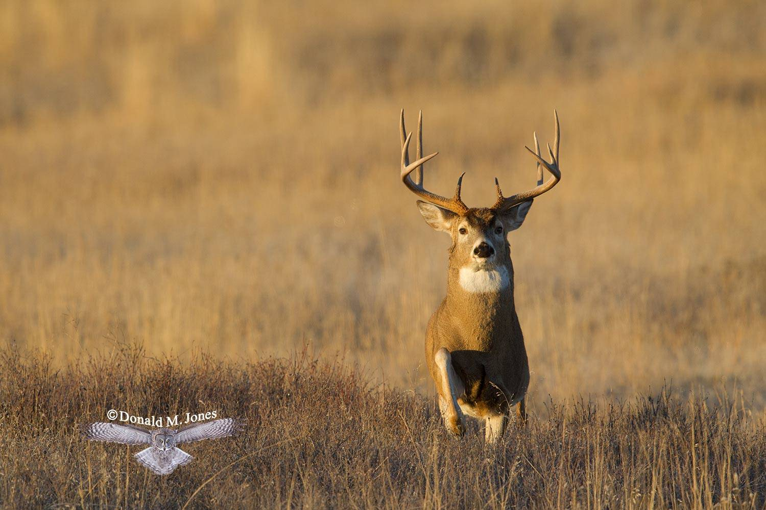 Whitetail-Deer54080D