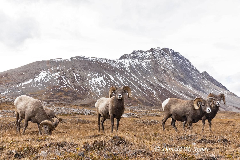 Bighorn-Sheep06641D