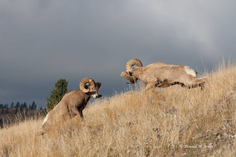 Bighorn-Sheep03944D