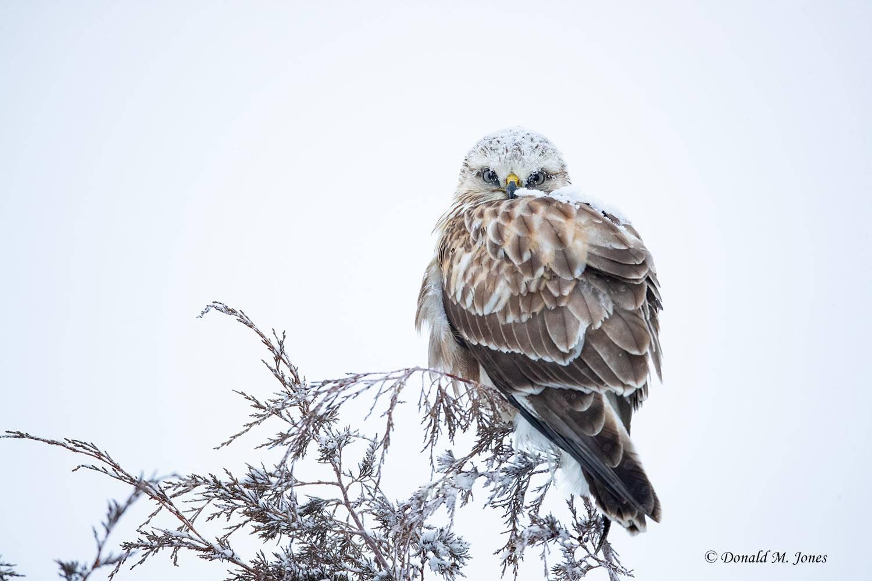 Rough-legged-Hawk0150D