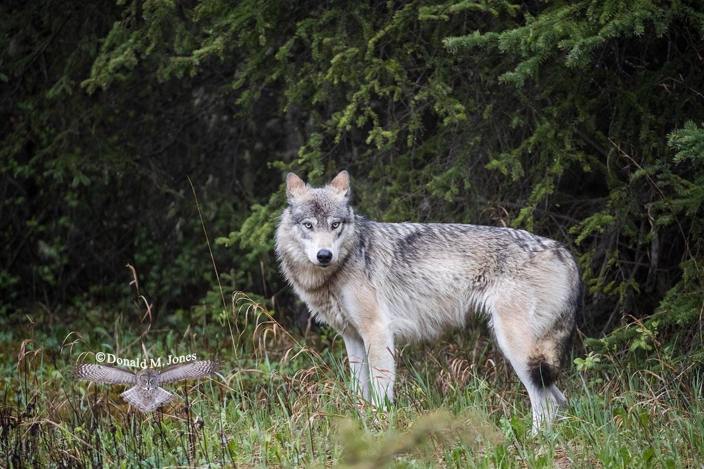 Wolf0624D