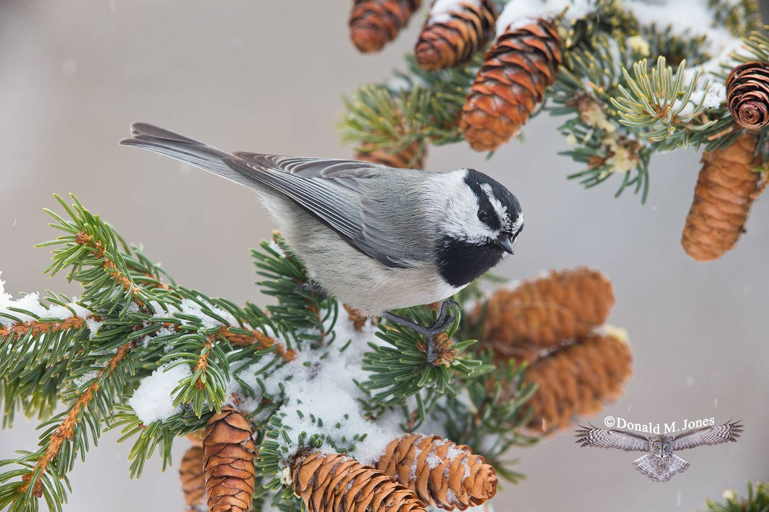 Mountain-Chickadee0358D