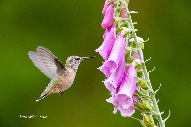 Calliope-Hummingbird0436D