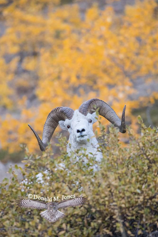 Dall-Sheep02266D