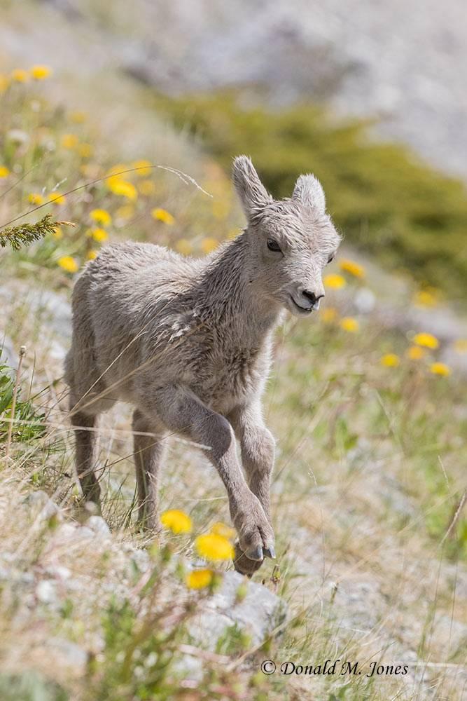 Bighorn-Sheep05470D