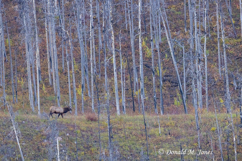 Elk-(Rocky-Mtn)28933D
