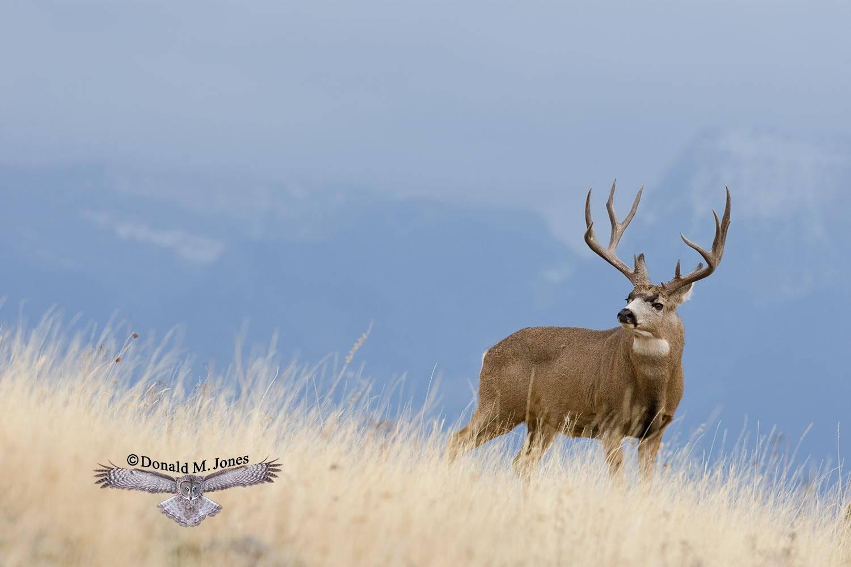 Mule-Deer06736D.