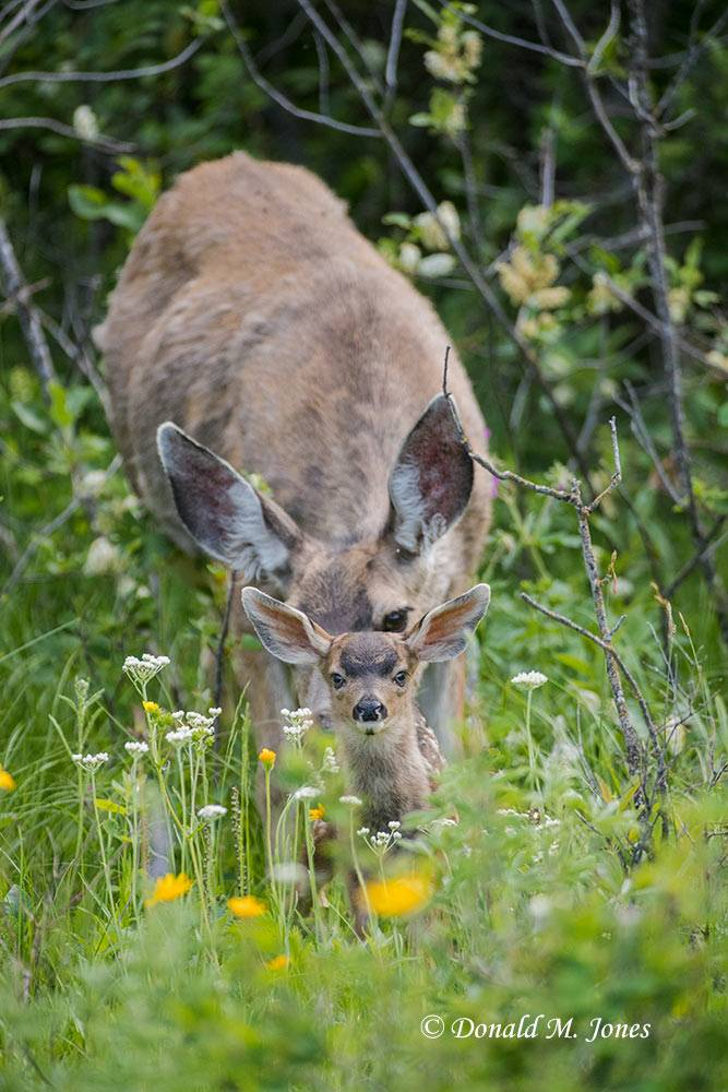 Mule-Deer10962D