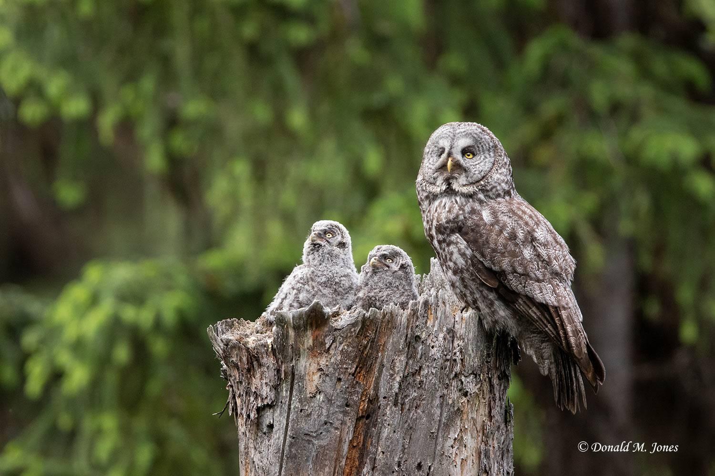 Great-Gray-Owl1377D