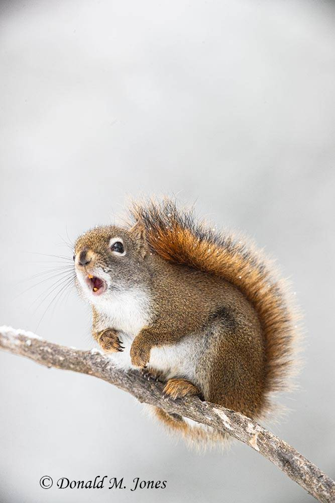 Pine-Squirrel0262D