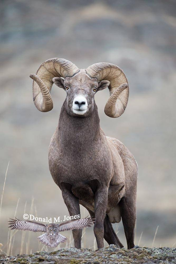 Bighorn-Sheep05330D