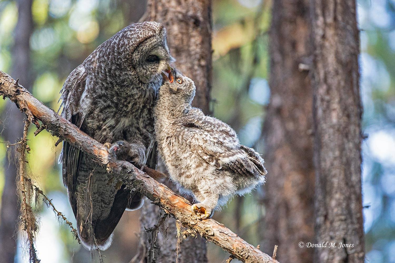 Great-Gray-Owl1519D
