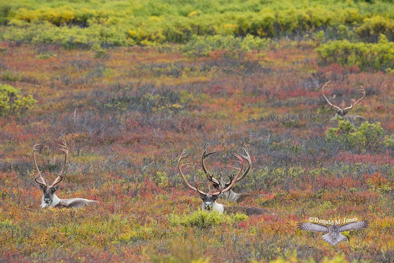 Barren-Ground-Caribou02717D