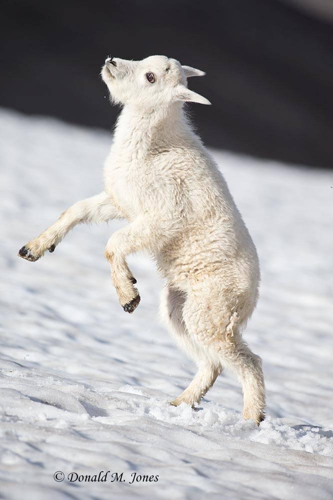 Mountain-Goat02709D