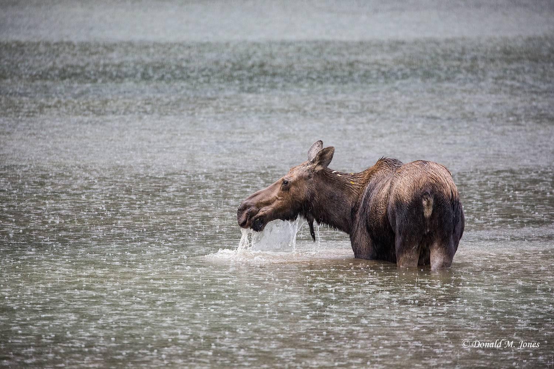 Moose06437D