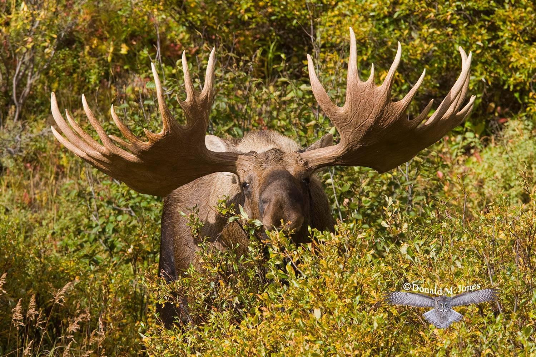 Moose02780D